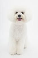 ビションフリーゼの成犬