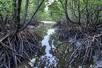 沖縄県 吹通川のヒルギ群落