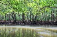 沖縄県 宇多良川マングローブ林 膝根とオヒルギ 浦内川支流 ...