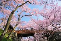長野県 高遠城址公園のタカトオコヒガンザクラと桜雲橋