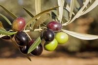 スペイン アンダルシア州 オリーブの枝と実