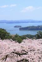 宮城県 松島町 西行戻の松公園 桜と松島湾