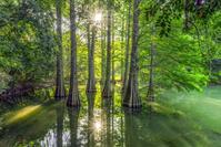 日本 福岡県 篠栗九大の森 蒲田池とラクウショウ(落羽松)の木