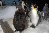 オウサマペンギンの成鳥と幼鳥