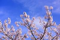 滋賀県 西浅井町 桜と青空