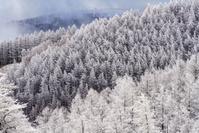 長野県 冬の美ヶ原の霧氷のカラマツ