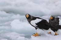流氷の2羽のオオワシ