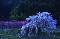 奈良県 夜明けの又兵衛桜