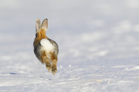 ヤマワタオウサギ