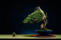盆栽 さつき 大盃 創作盆栽