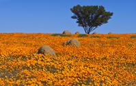 アフリカキンセンカの花畑