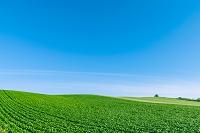 北海道 美瑛町 緑鮮やかな畑
