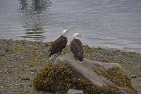 アメリカ アラスカ ジュノー ハクトウワシ
