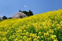 福島県 二本松市 合戦場のシダレザクラとナノハナ