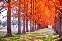 東京都 メタセコイア並木