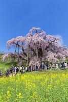 福島県 菜の花と滝桜