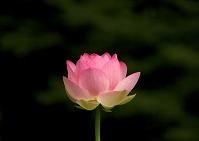 濃い緑葉を背景にした一輪の蓮の花