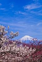 静岡県 梅と富士山