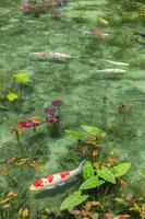 岐阜県 モネの池(根道神社の池)