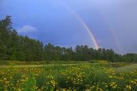 オオハンゴンソウと虹 北海道 西神楽