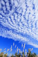 山梨県 櫛形山林道よりススキとうろこ雲