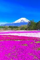 山梨県 富士山とシバザクラ