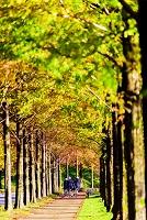 石川県 メタセコイヤ並木