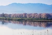 新潟県 桜咲く福島潟より五頭連峰朝景