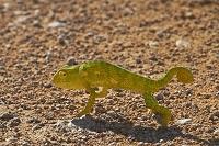 ナミビア エトーシャ国立公園 トカゲ
