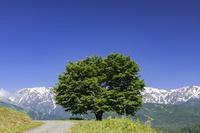 長野県 一本の木