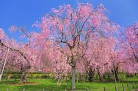 岩手県 上米内浄水場 紅枝垂れ桜