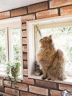 奈良の家猫 スコティッシュフォールド