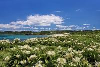 山口県 ハマユウ咲く角島