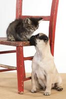 パグの子犬と子猫