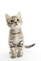 ミックス 座って見上げている子猫