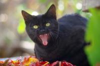 赤い葉と黒猫