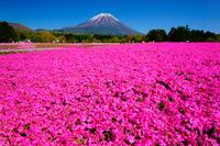 山梨県 富士山と芝桜