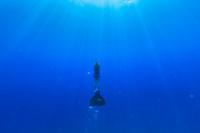 モノフィンで泳ぐスキンダイバー