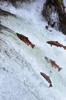 北海道 さくらの滝 サクラマスの遡上