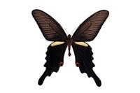 蝶 標本 クロアゲハ 日本