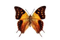 蝶 標本 フタオチョウ マダガスカル