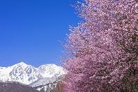 長野県 桜と白馬鑓ヶ岳と杓子岳