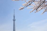 隅田公園から望む東京スカイツリーと桜