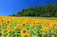 北海道 中富良野町 彩香の里 ひまわり畑