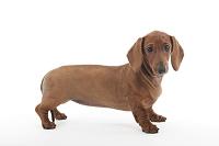ダックスフンド 横を向いて立っている犬