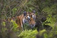 インド バンダウガル国立公園   ベンガルトラ