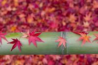 青竹と散り紅葉