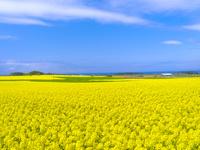 日本 青森県 一面の菜の花畑