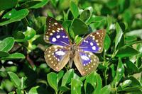 蝶 標本 オオムラサキ
