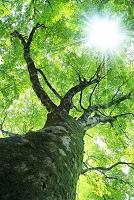 ブナの新緑と太陽